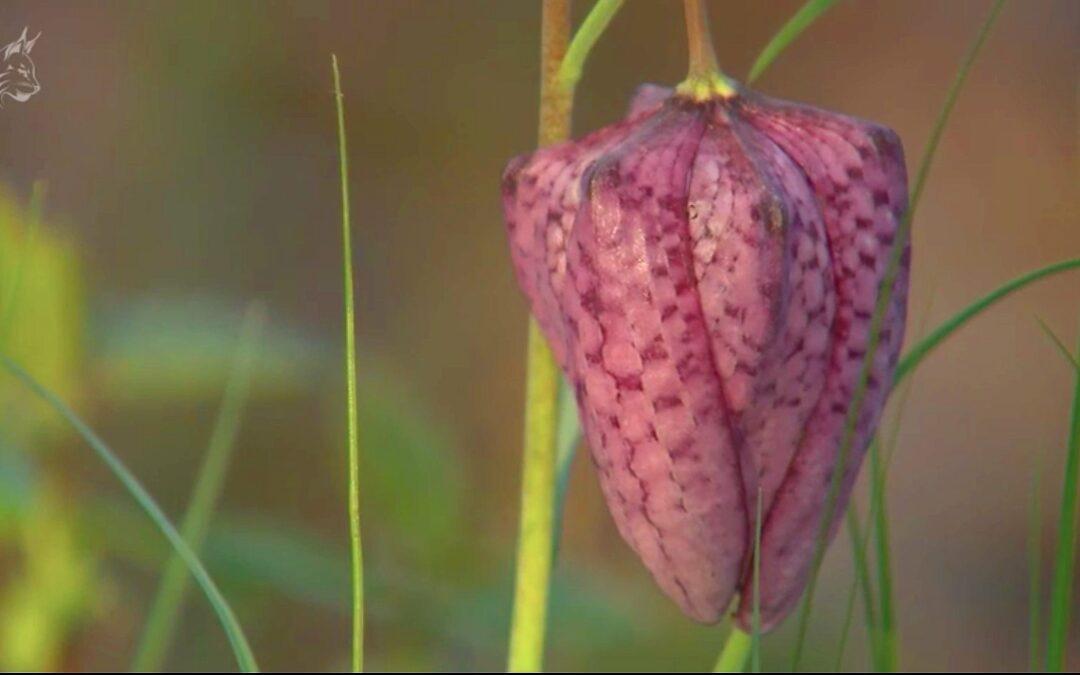 Laleaua Pestriță ( Fritillaria Meleagris )
