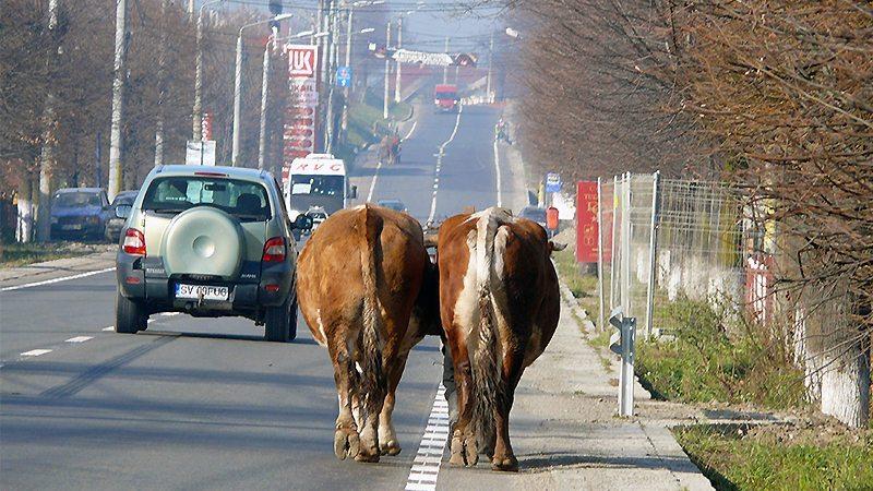 Vaca este vacă, oameni buni! Ca şi noi!