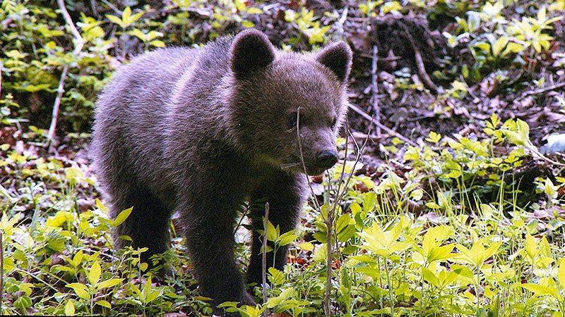 Tradiţie bucovineană de Paşti: tăierea ursuleţului din bătătură
