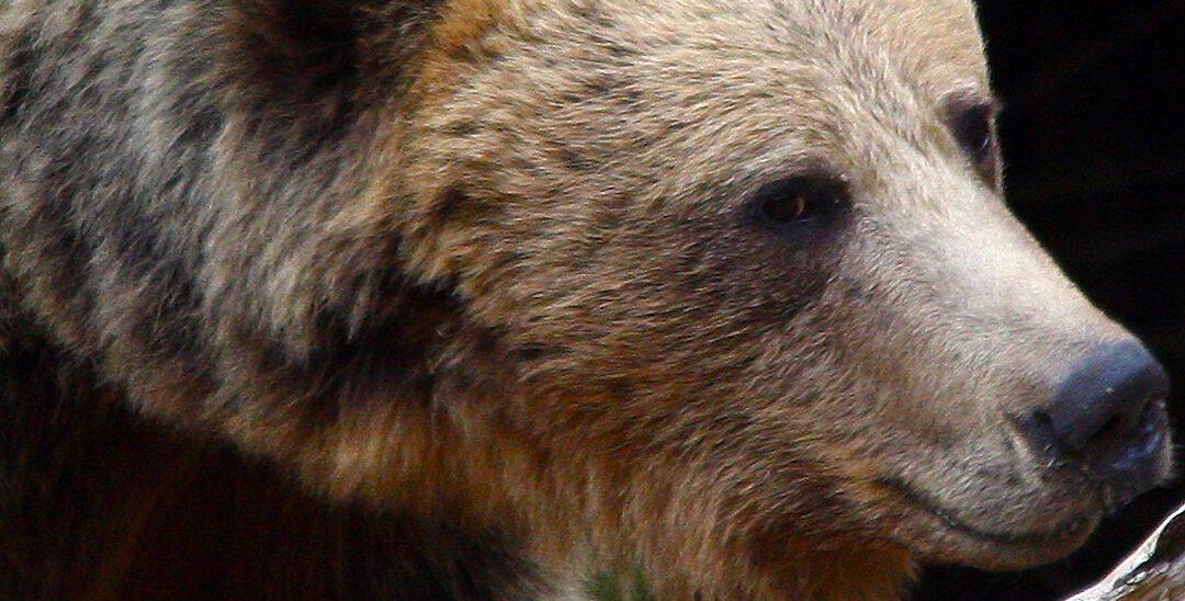 Uciderea ursului brun  din privire: privirea senatorului Tanczos Barna