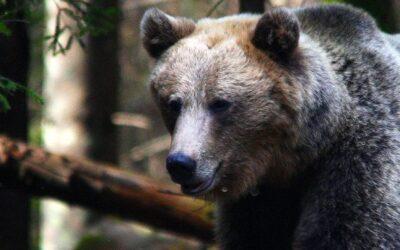 Sistarea Totală a Vânării Sportive a Ursului Brun